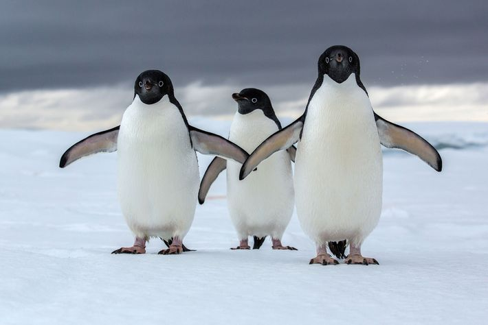 Adélie penguins are one of two true Antarctic penguins, and they are threatened by a changing ...