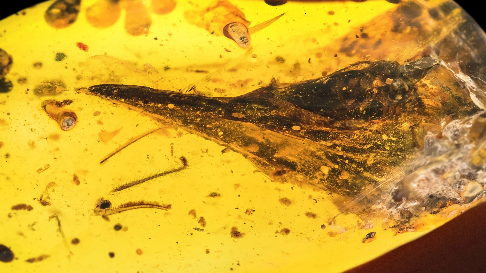 A piece of amber less than 1.5 inches wide contains the entire skull of Oculudentavis khaungraae, ...