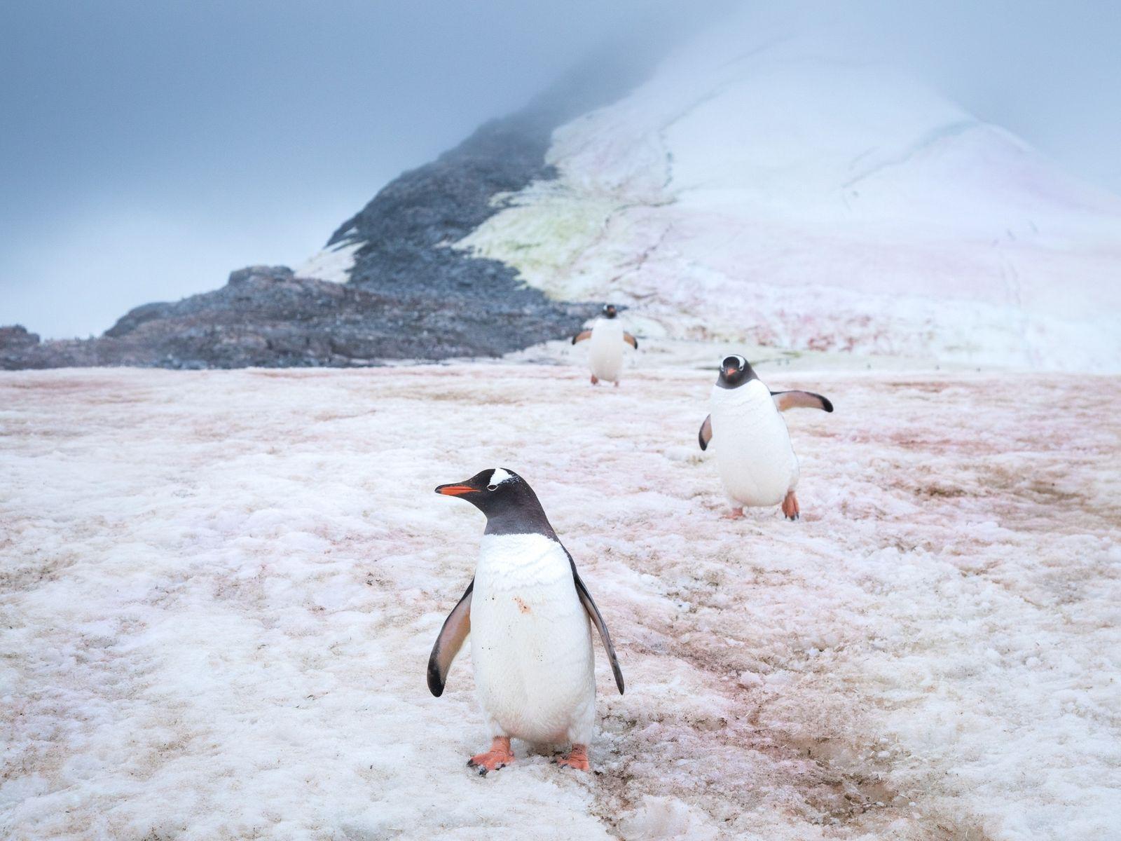 Mysterious Microbes Turning Polar Ice Pink, Speeding Up Melt