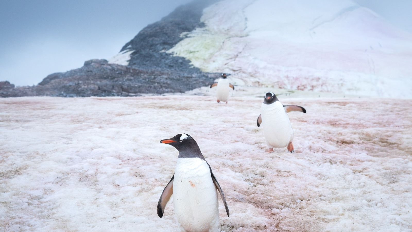 Gentoo penguins make their way to and from their nests at Port Charcot, Antarctica.