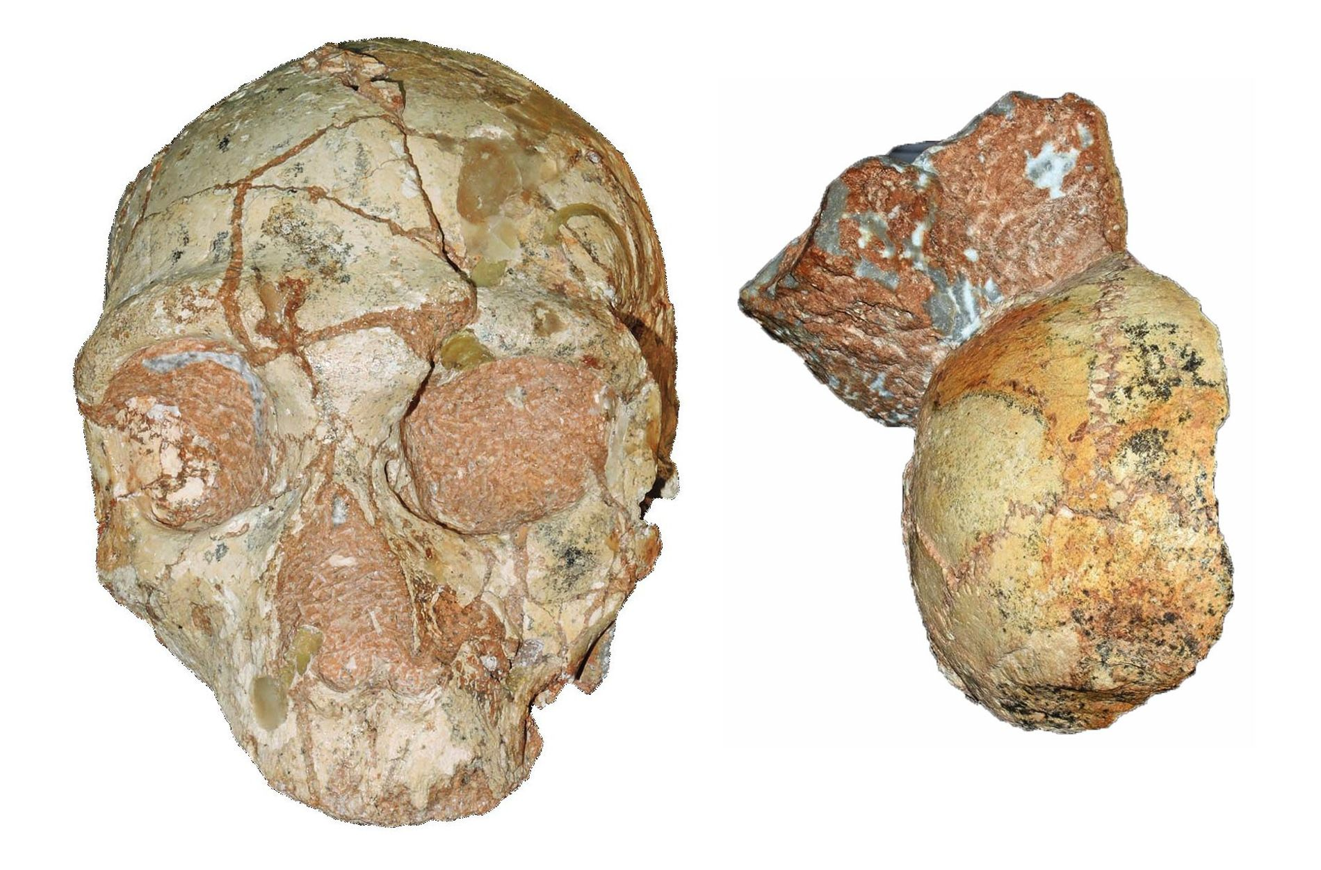 These fragmented fossils, which were found mere inches apart, could be the skulls from two hominin ...