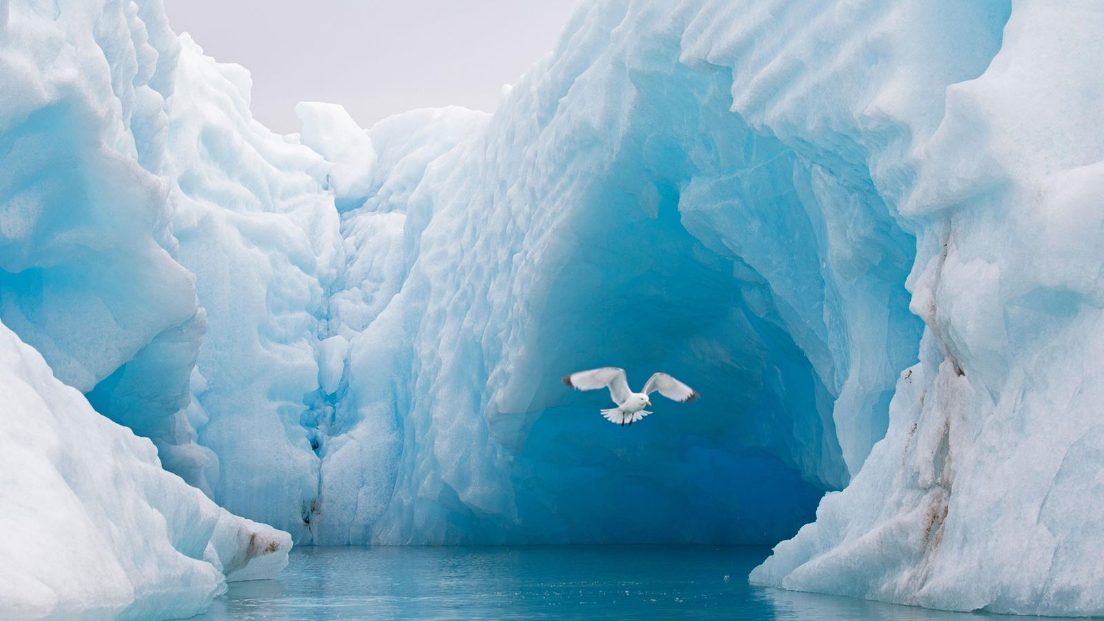 A black-legged kittiwake soars past an Arctic Ocean iceberg in Svalbard, Norway.