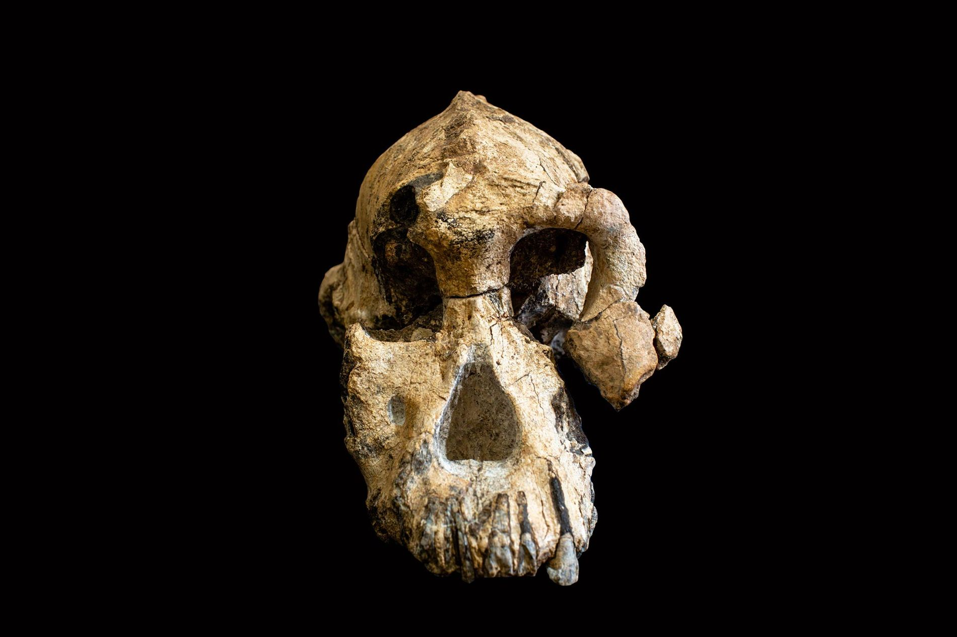Formally designated MRD-VP-1/1, this newfound skull belongs to an early human ancestor called 'Australopithecus anamensis'.