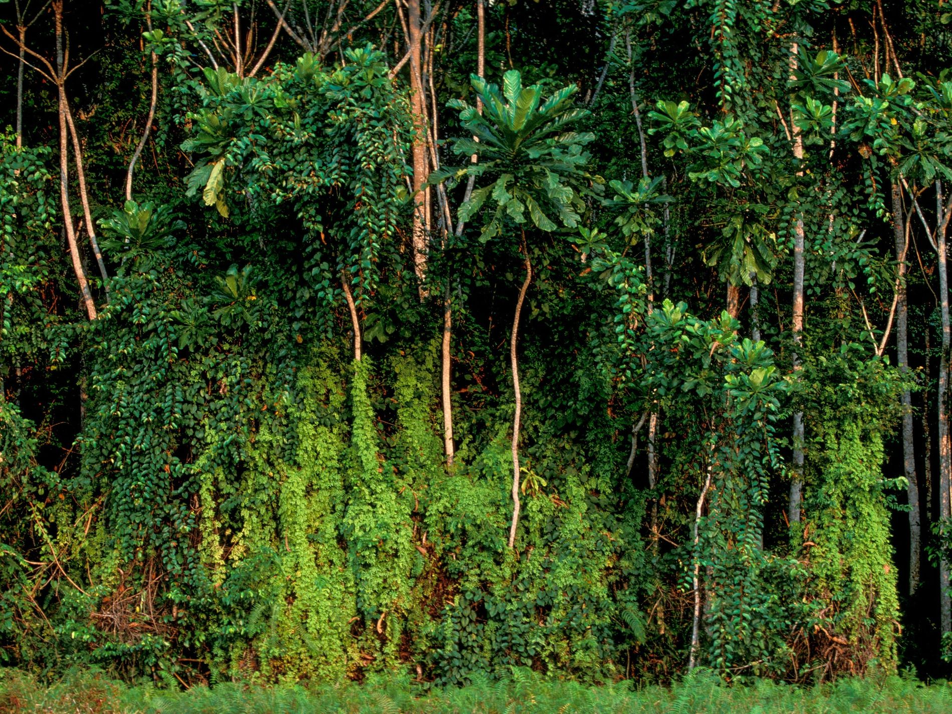 Trees in the rainforest near Rabi, Gabon. Gabon retains much of its original rainforest and has ...