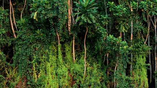 Trees in the rainforest near Rabi, Gabon. Gabon retains much of its original rainforest and has ...