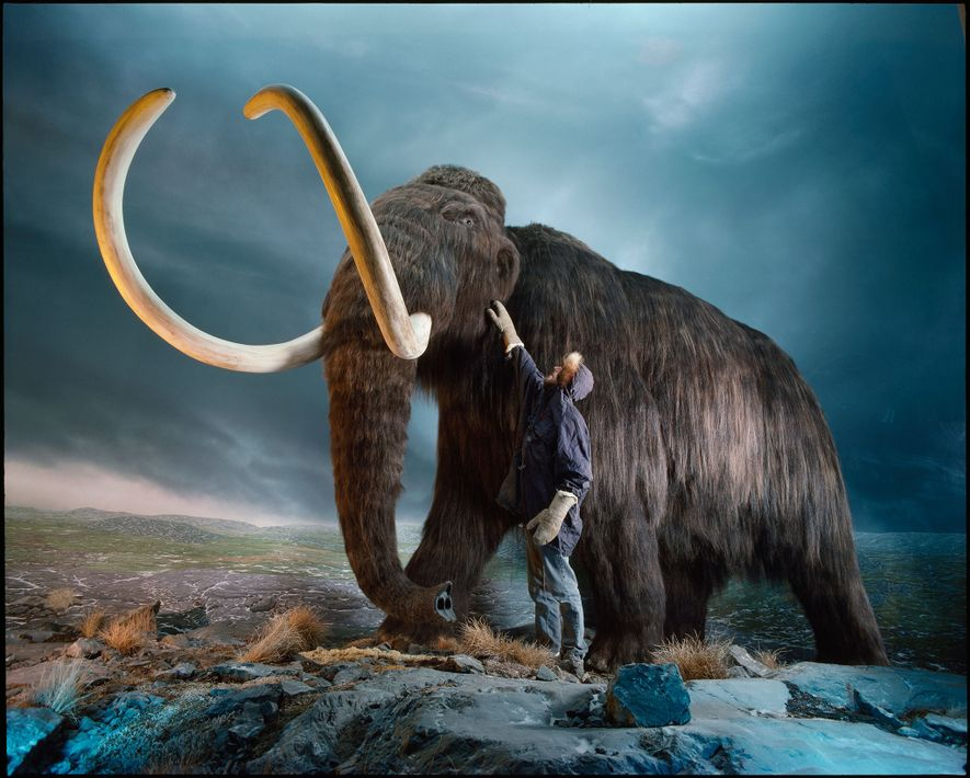 A museum worker checks the hair on this woolly mammoth replica.