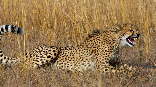 01_cheetah_pet