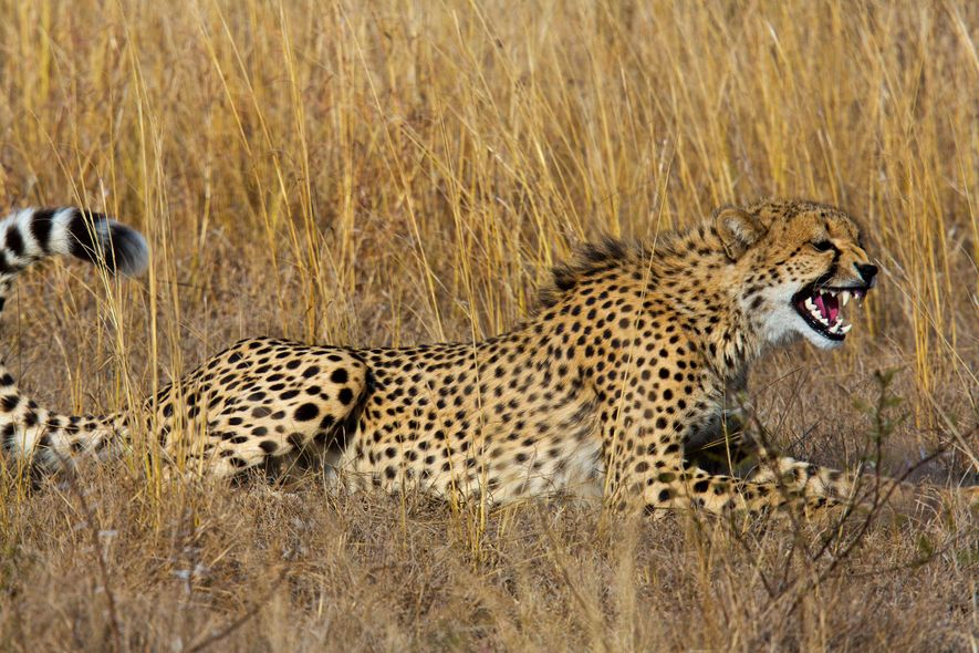 Exotic Pet Ban May Mean Fewer Cheetahs Posing With Fancy Cars