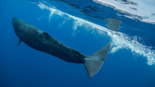 Digit, a young sperm whale near the Caribbean Sea nation of Dominica, spent three years with ...