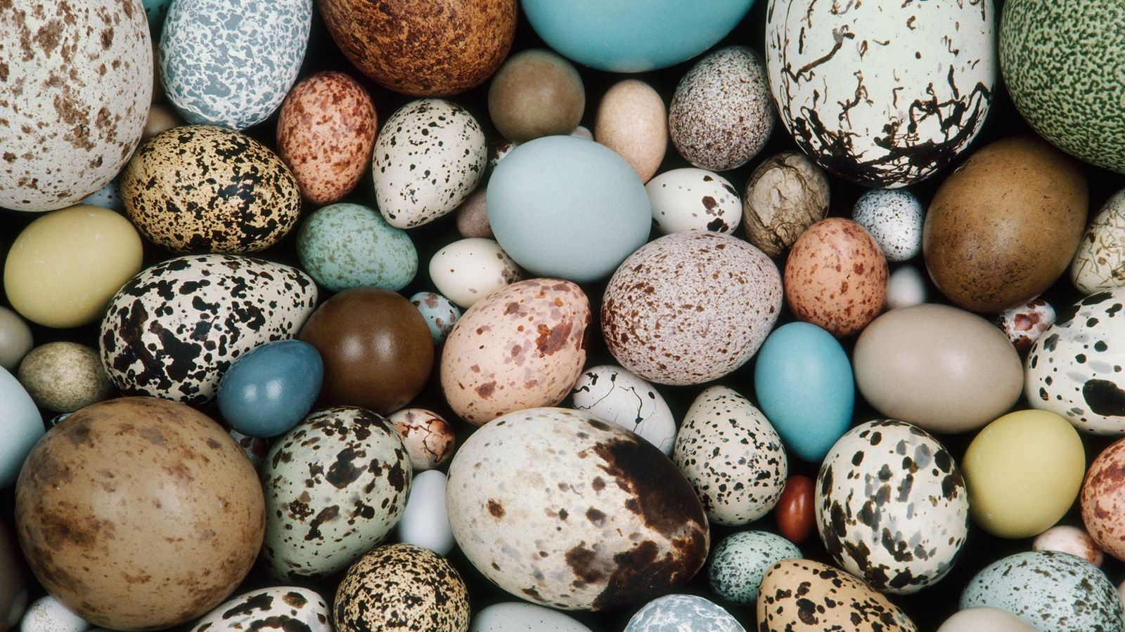 Modern bird eggs come in a huge diversity of hues, like these samples in the collection ...