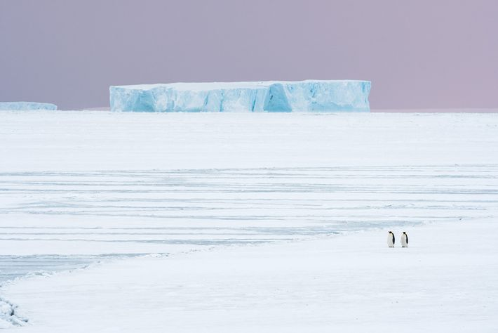 Emperor penguins in autumn begin their roughly six-mile journey from the ocean to their Atka Bay ...