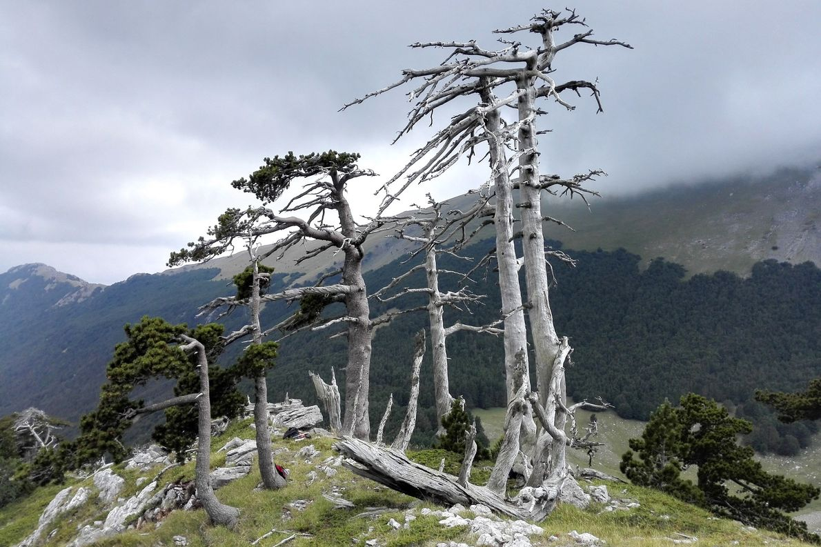 A cluster of old or dead Heldreich's pine trees sits on a ridge in Italy's Pollino …