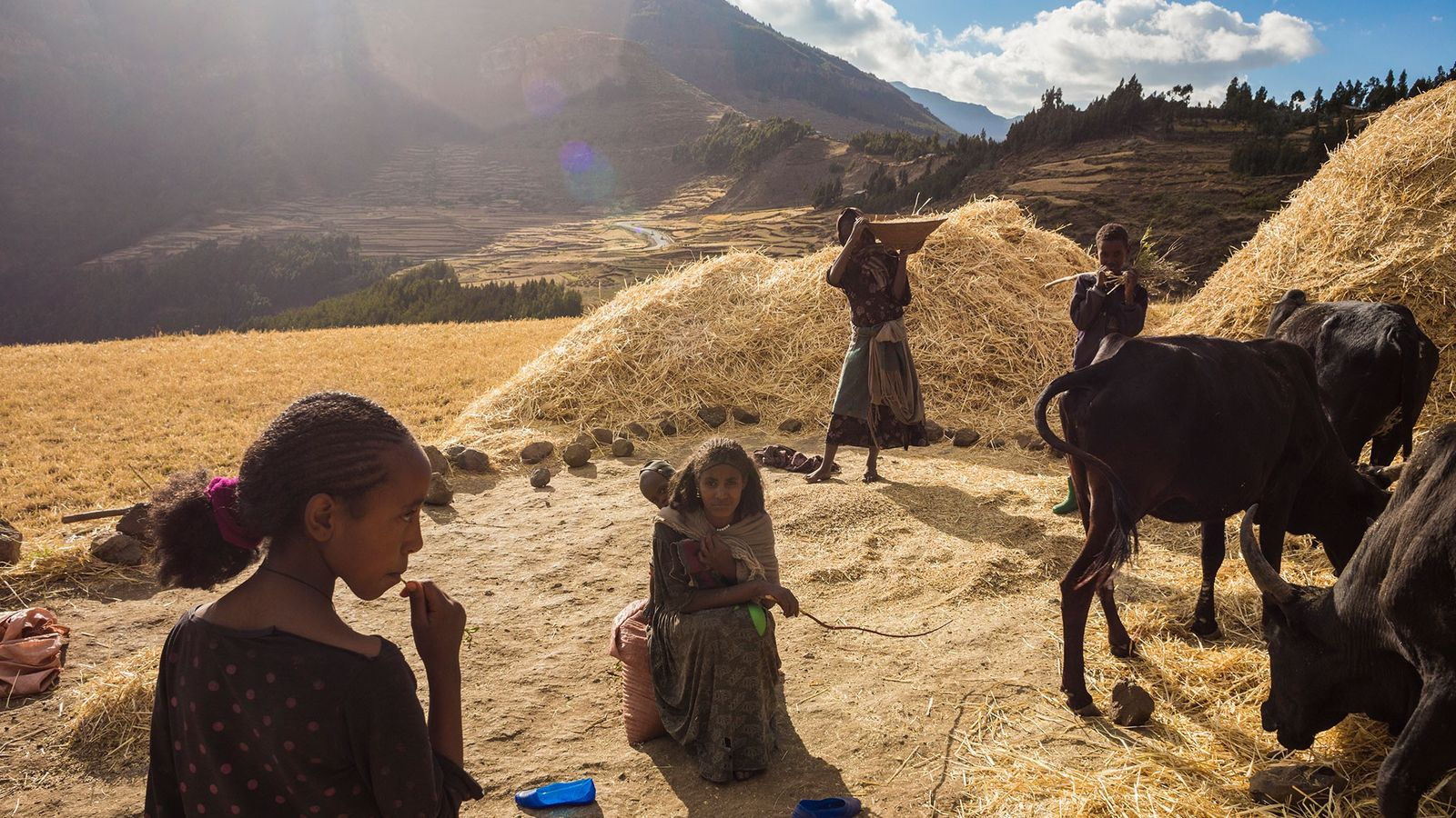 Using hand tools and draft animals, a family harvests wheat in Ethiopia's famine-prone highlands.