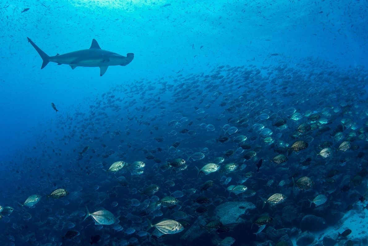 Hammerheads are among the rich marine biodiversity of the Galapagos.