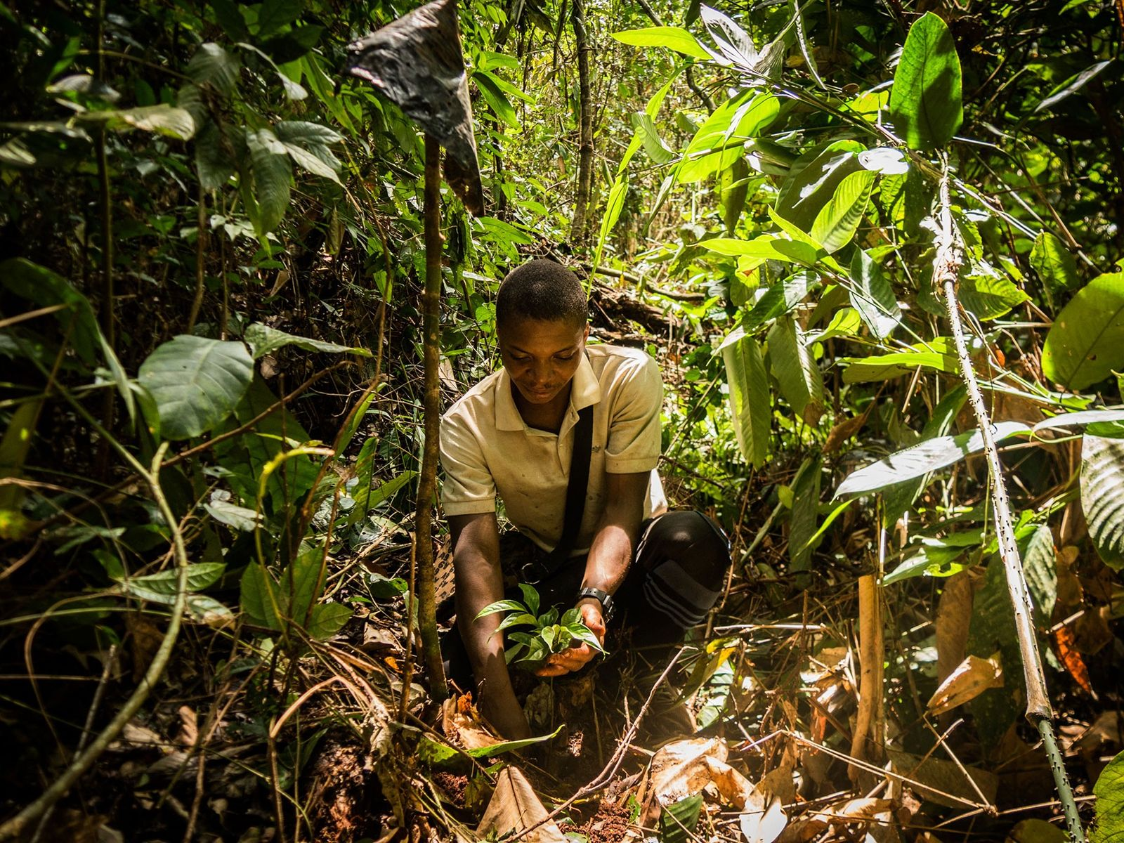 Noël Nakere Dobo Nkouli finishes planting an ebony sapling in the Congo Basin forest of southeastern ...