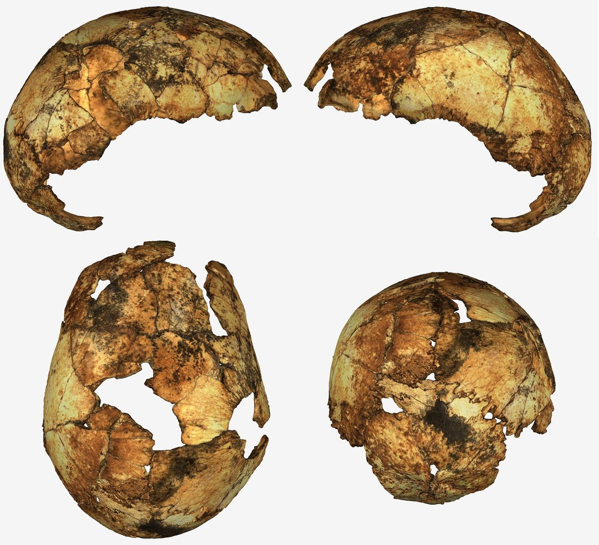Fossil skulls rewrite the stories of two ancient human ancestors