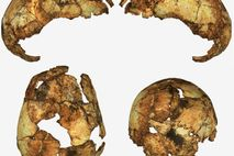 Skull fragments from an early Homo erectus individual were discovered in South Africa—the first time the ...