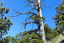 Scientists determined the age of this 1,230-year-old Heldreich's pine, nicknamed Italus, using a novel combination of ...