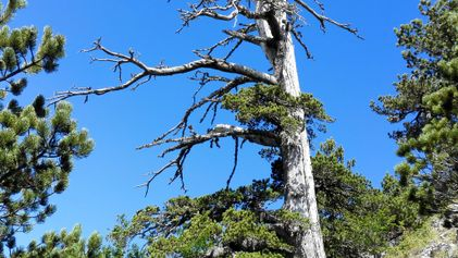 Oldest European Tree Found—And It's Having a Growth Spurt