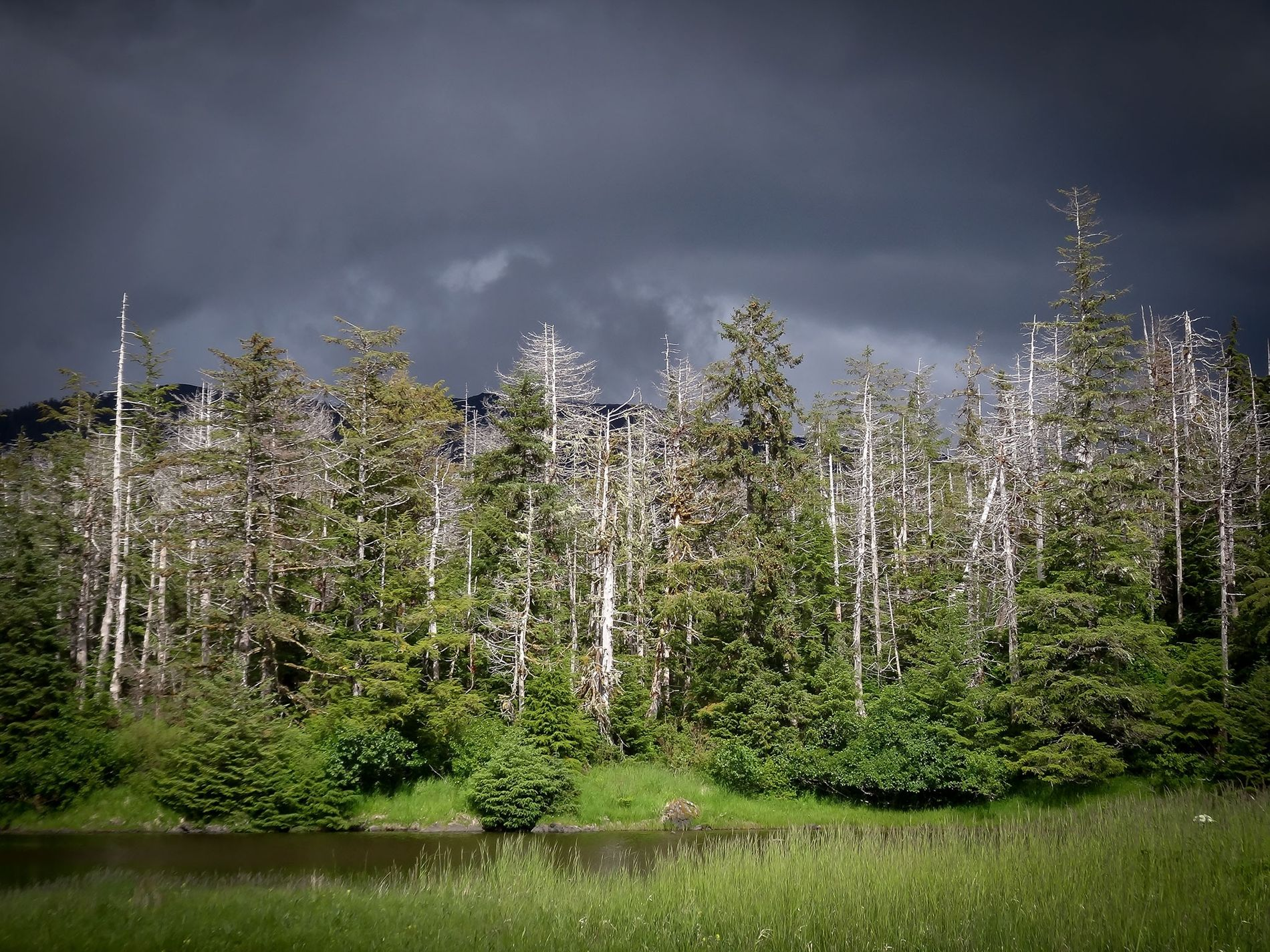 Standing dead yellow-cedar trees can be seen among the forest in Slocum Arm, Alaska. The trees ...