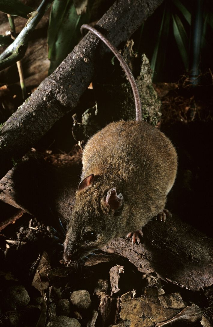 This species of melomys is related to one that scientists say has gone extinct in the ...