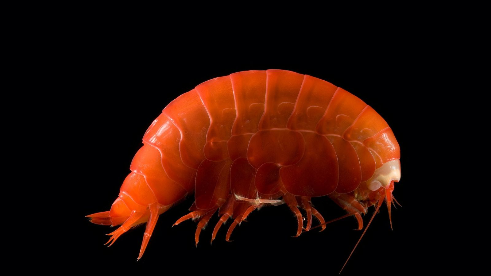 Deep sea amphipods like this small shrimp-like creature are eating miscropic pieces of plastic and tiny ...