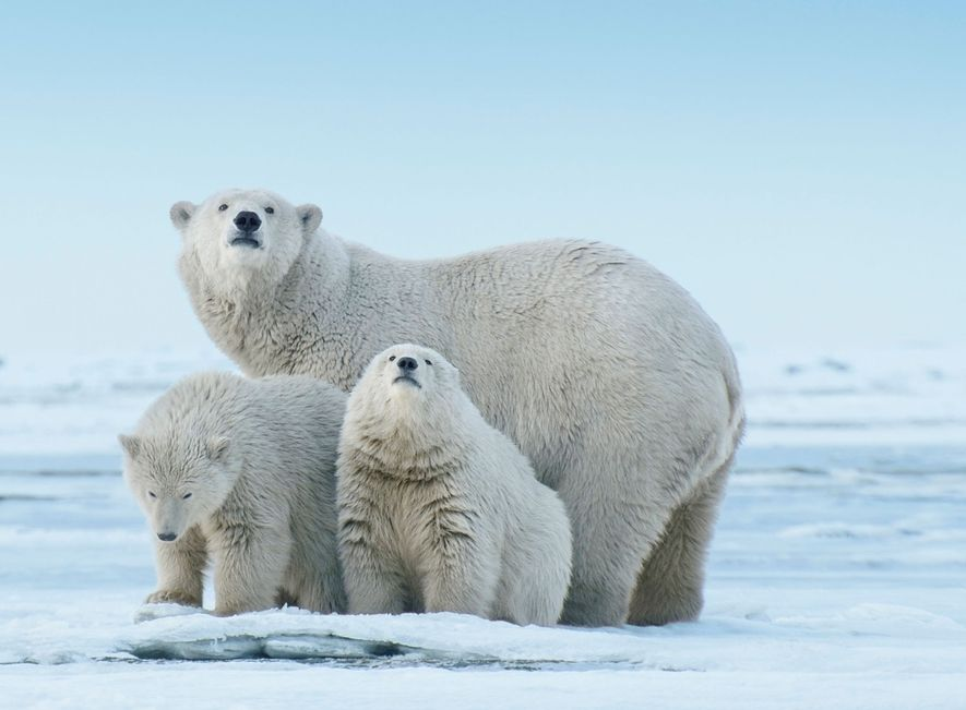 A polar bear and her cubs explore a spit of land projecting into the Beaufort Sea, ...