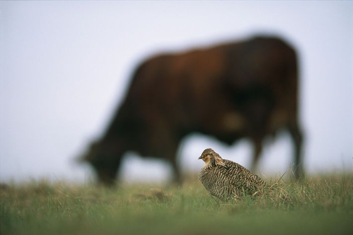 Attwater prairie chickens, once ubiquitous on southern prairies, had at one point dropped to just 470 ...