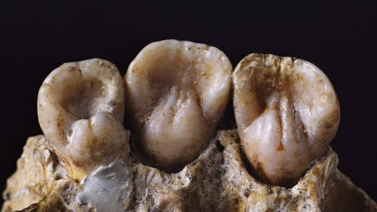 Similar to the teeth analysed in the new study, these Neanderthal gnashers could hold their own ...