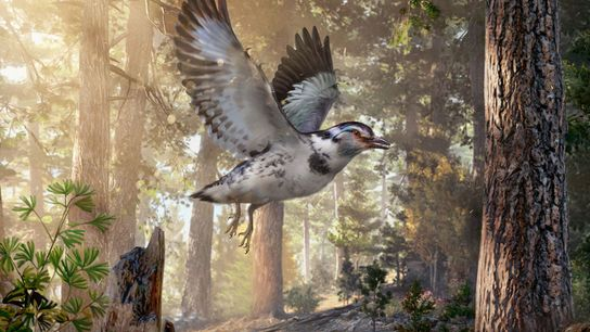 A reconstruction of 'Jinguofortis perplexus', a dinosaur-era bird that lived in what is now China about ...