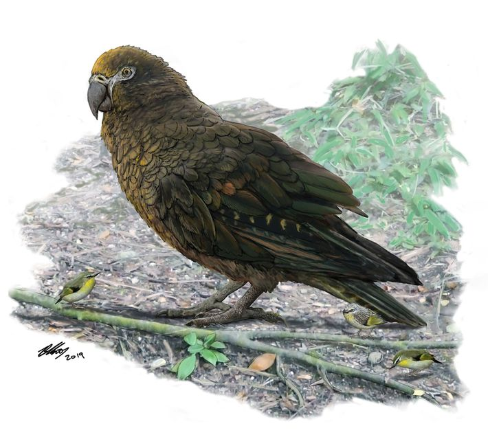 The giant parrot Heracles inexpectatus lived 16 to 19 million years ago in what is now ...