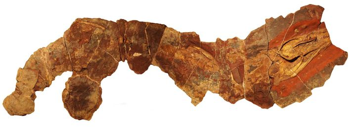 This fossil of the ancient shark genus Phoebodus was found in Morocco.