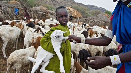 A young Maasai holding a small goat in a kraal, an enclosure for cattle or other ...