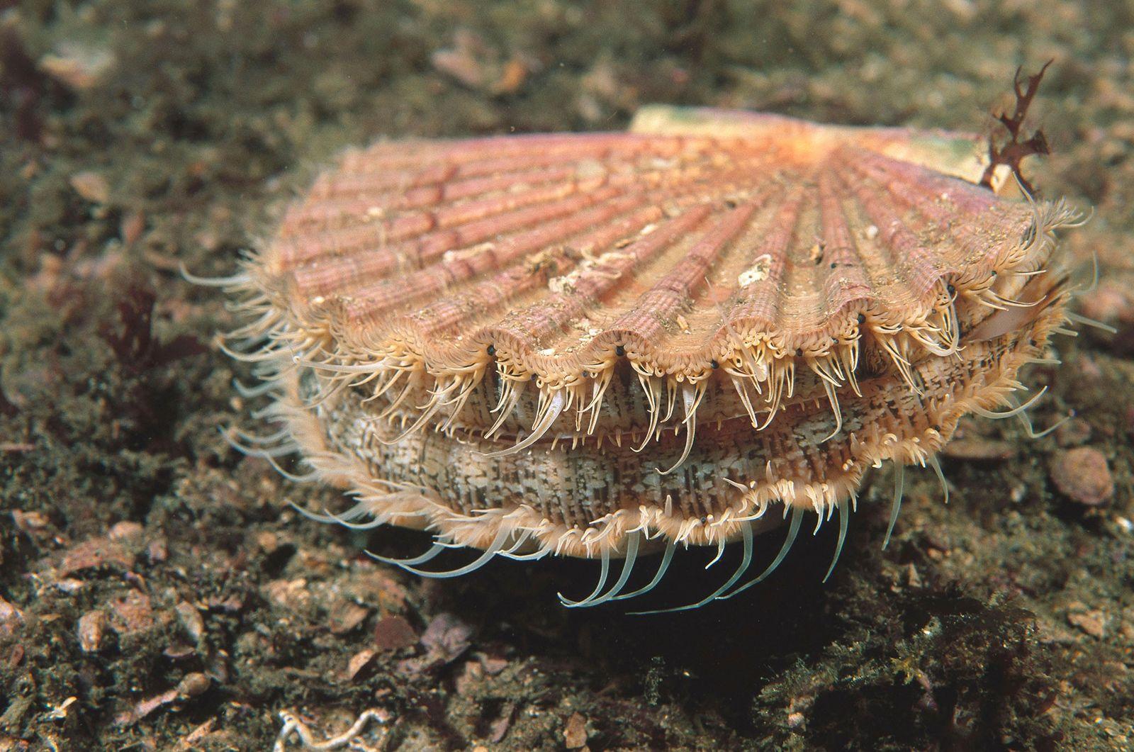 English sea scallops suck up billions of plastic particles