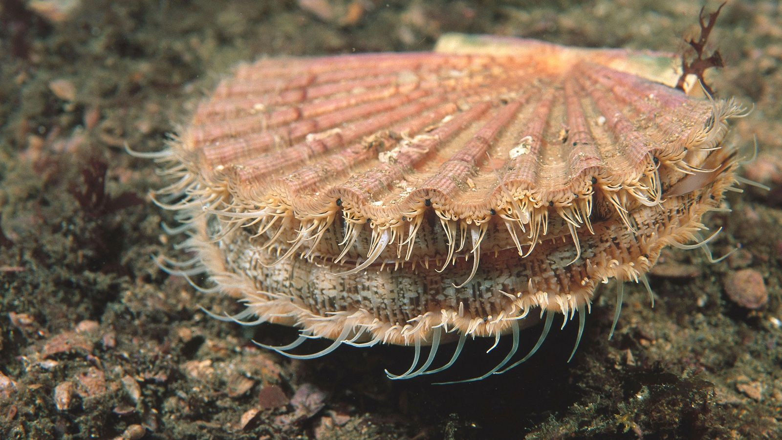 A commercially important mollusc, the great scallop ('Pecten maximus'), is capable of absorbing billions of plastic ...