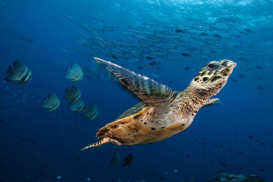 A hawksbill sea turtle, Eretmochelys imbricata, at Jayne's Gulley, Kimbe bay Papua New Guinea.