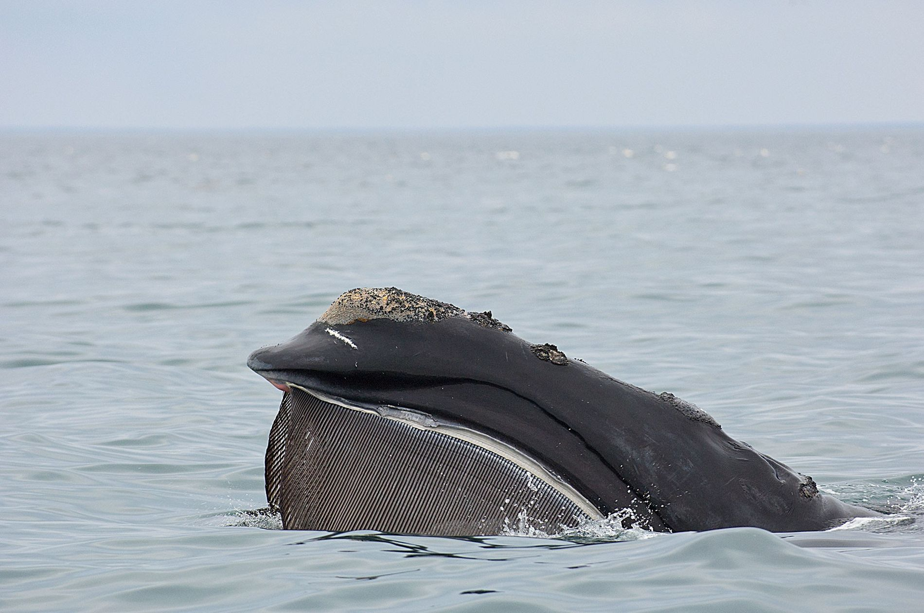 A North Atlantic right whale trawls with open mouth along the surface. It's food supply could ...