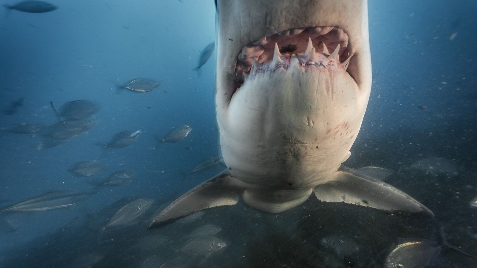 Great white sharks in the waters off the South Neptune Islands, Australia.