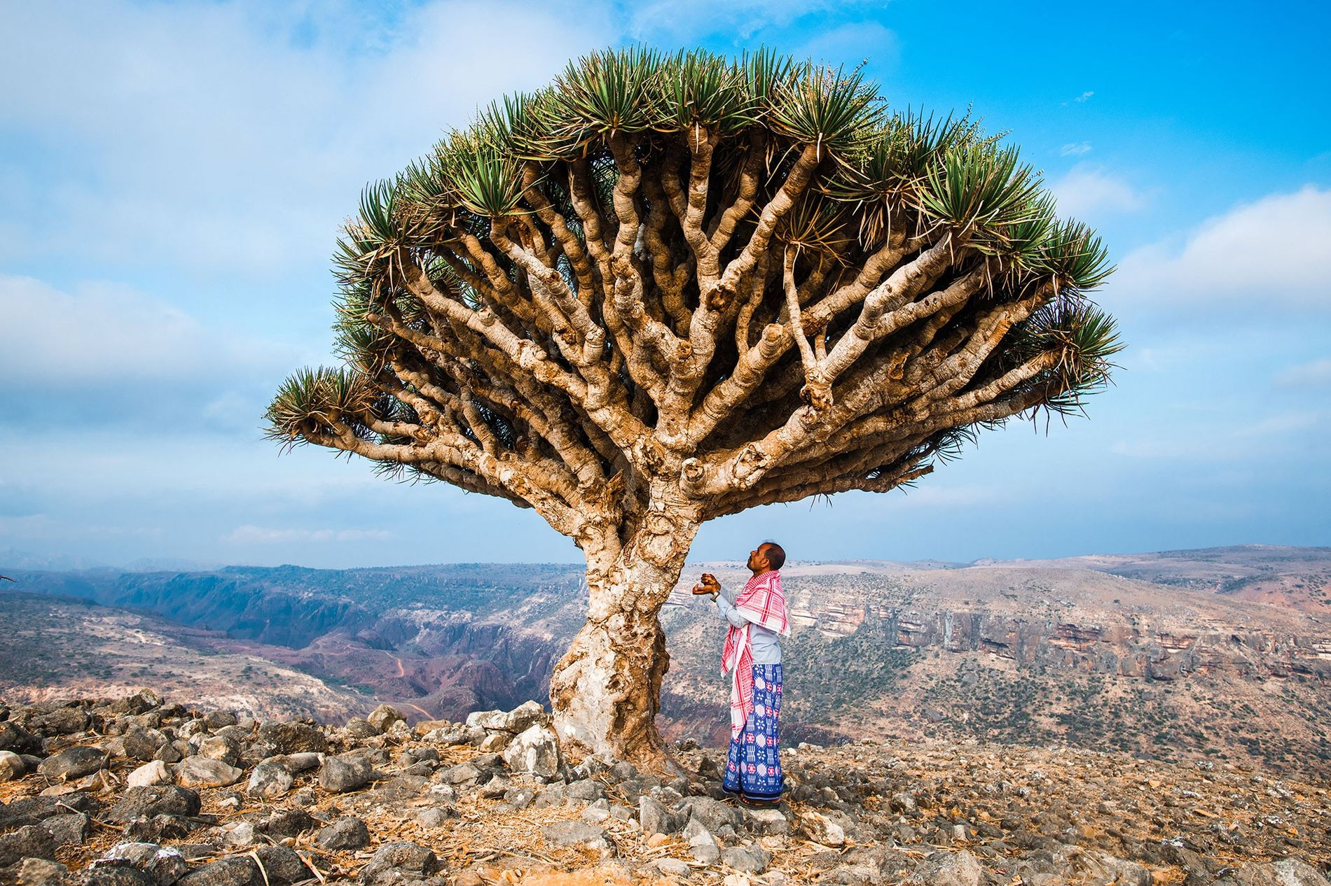 The Socotra dragon's blood tree, Dracaena cinnabari, can live a thousand years. Its bright red resin ...