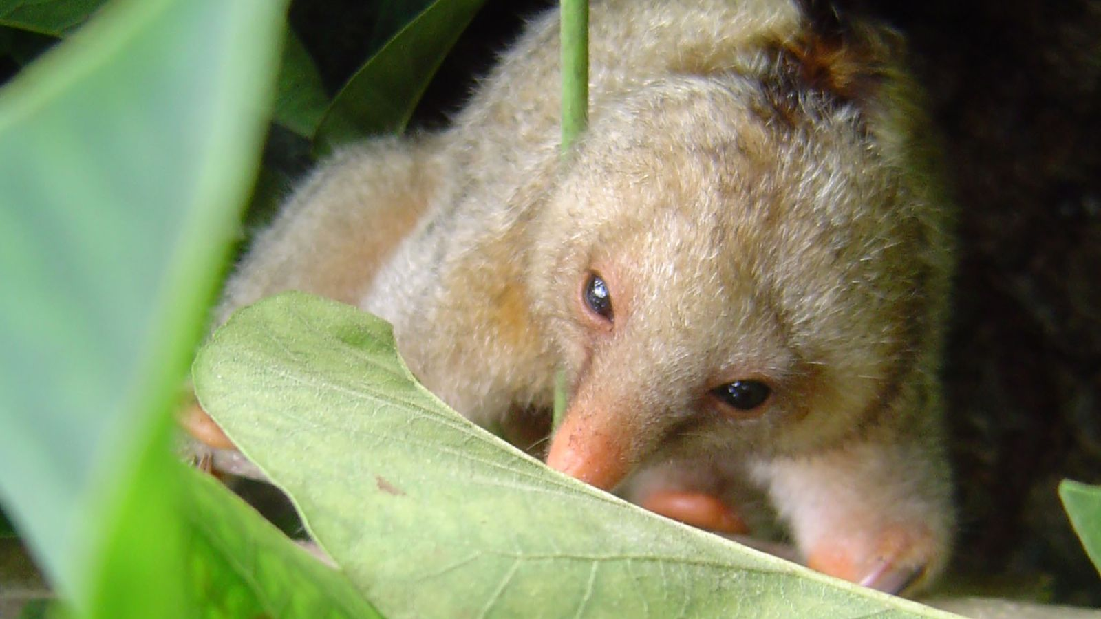 Silky anteaters were once thought to comprise a single species, but researchers have now determined that ...