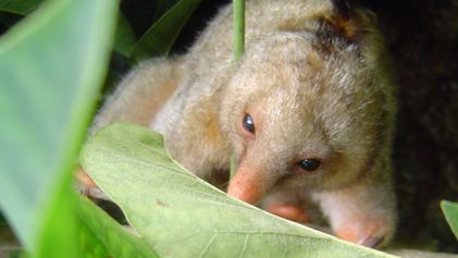 Six New Tiny Anteater Species Discovered