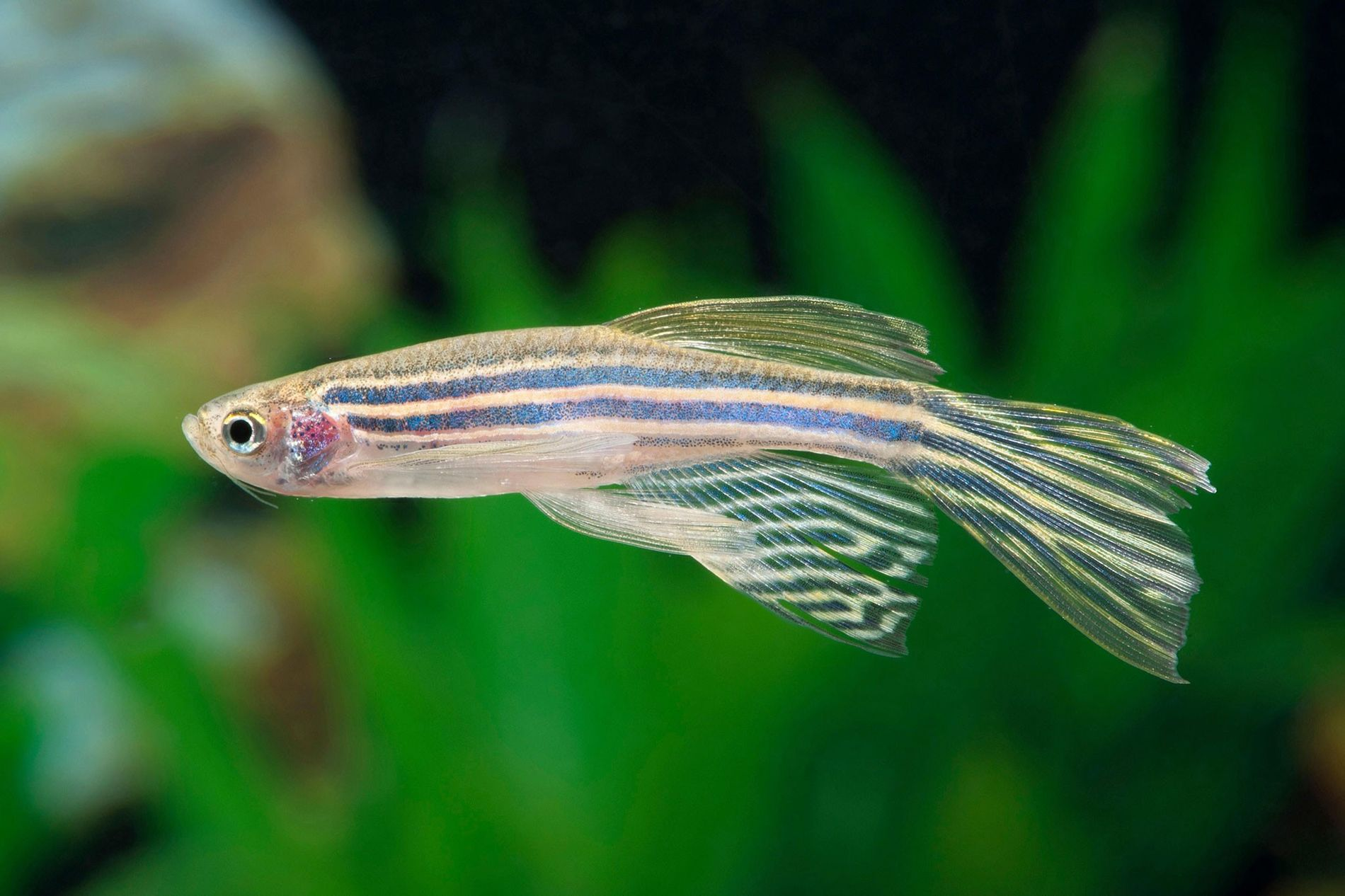 Zebrafish, like the adult seen here, seem to experience sleep cycles that are similar to REM ...
