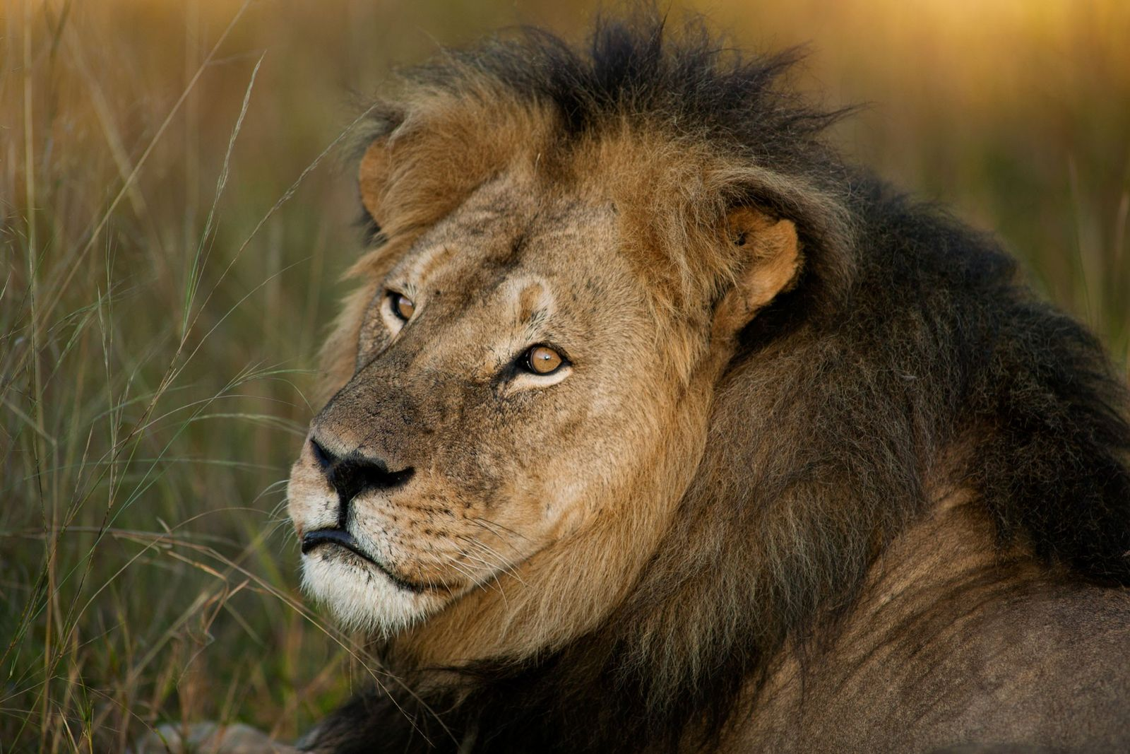 Cecil lived in Hwange National Park, in Zimbabwe. He was allegedly lured out of the park ...
