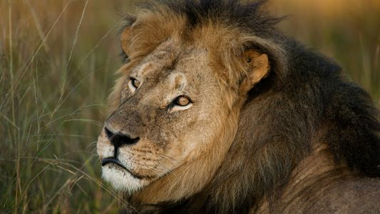 Exclusive: An Inside Look at Cecil the Lion's Final Hours