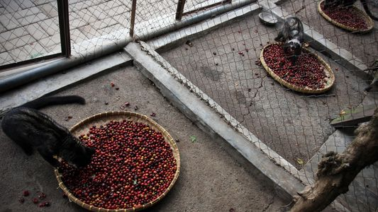The Disturbing Secret Behind the World's Most Expensive Coffee