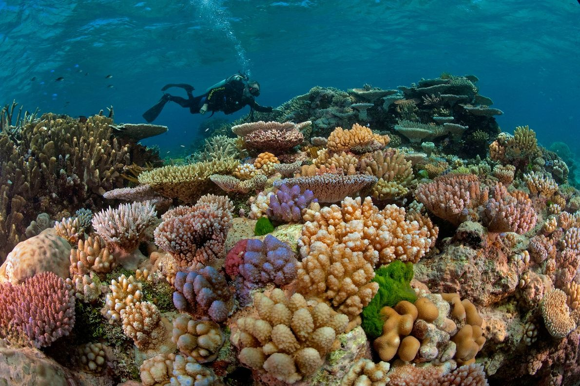 A diver swims above a garden of stony corals on the Great Barrier Reef, which is ...