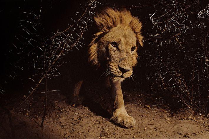 A lion roams in Chobe National Park, a wildlife conservation area near Kasane, Botswana.