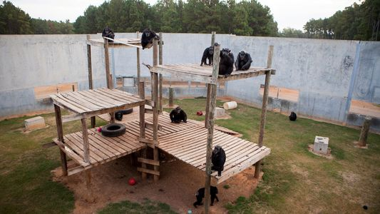 Photos Of Retired Research Chimps In Their New Home
