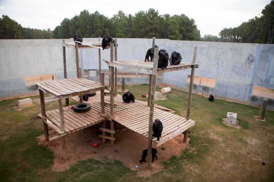 Retired lab chimps hang out in their enclosure at the independent, nonprofit National Chimpanzee Sanctuary, also …