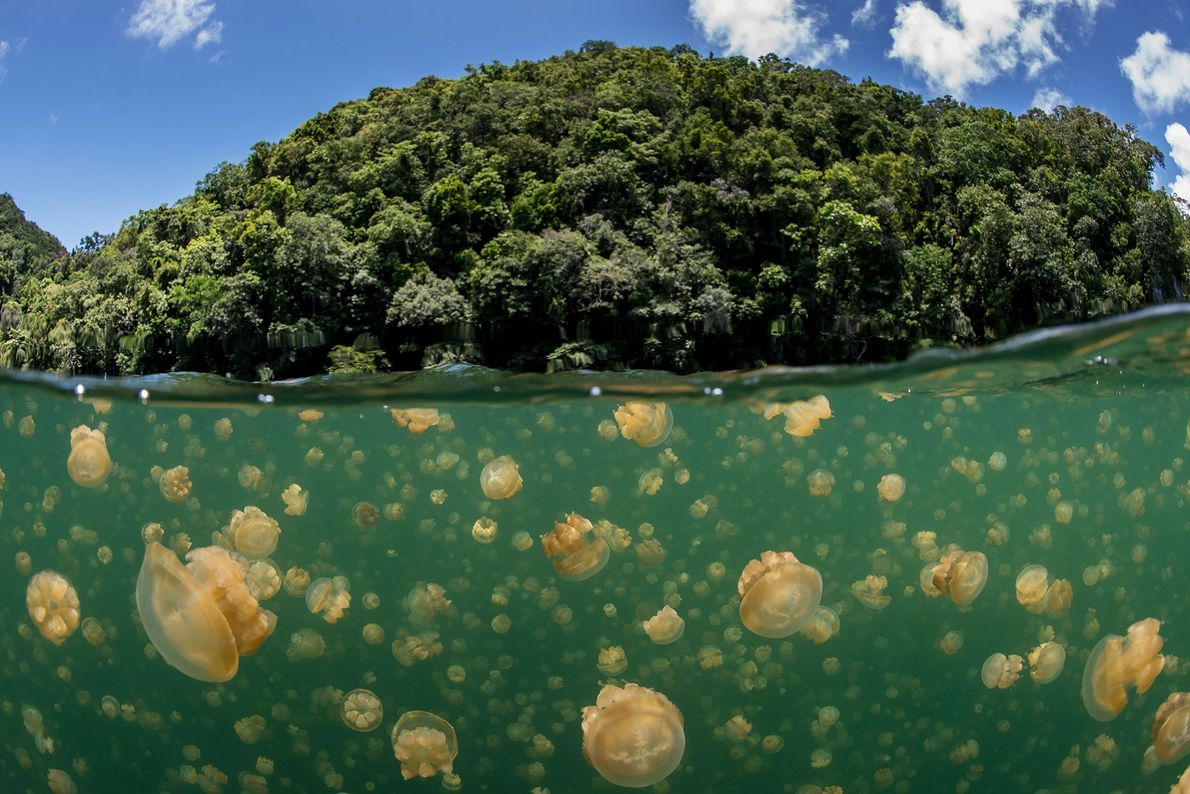 Palau's most famous tourist attraction is a lake filled with jellyfish on Eil Malk island. Snorkeling ...